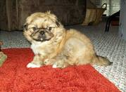 Nice Looking Pekingese Puppies for Good homes