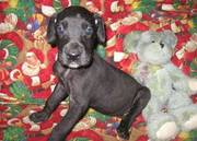 Great Dane Puppies For Adorable Homes