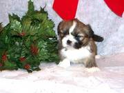 Top Quality KC - Health Lhasa Apso Puppy looking for a new homes