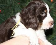 Lovely English Springer Spaniel Puppies for Sale