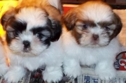 SHIH-TZU Pedigree Puppies