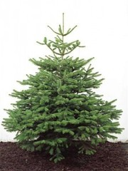 Christmas Tree supply,  delivery and recycling Brighton and Hove
